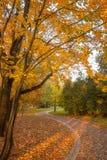 Las hojas de oro en la rama, madera del otoño con el sol irradian imágenes de archivo libres de regalías