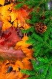 Las hojas de otoño amarillas y anaranjadas dan vuelta en ramas verdes del abeto con los conos y las decoraciones de la Navidad Ca Imagenes de archivo