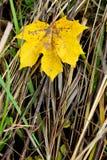 Las hojas de otoño caidas en hierba por mañana soleada se encienden fotografía de archivo libre de regalías