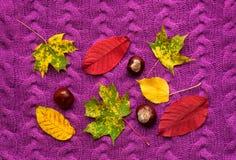 Las hojas de otoño coloridas con las castañas en una púrpura hicieron punto el suéter Imagenes de archivo