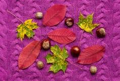 Las hojas de otoño coloridas con las castañas en una púrpura hicieron punto el suéter Fotos de archivo