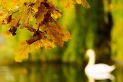 Las hojas de otoño coloridas en la orilla del lago ilustran el silh del cisne Imagen de archivo