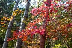 Las hojas de otoño en Bei Jiu Shui se arrastran, montaña de Laoshan, Qingdao, China Foto de archivo