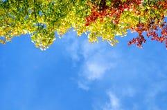 Las hojas de otoño rojas, amarillas y verdes coloridas del otoño del árbol ramifican contra el cielo soleado azul con el espacio  Imagen de archivo