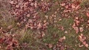 Las hojas de otoño vuelan sobre la tierra Hojas amarillas que caen en la cámara lenta almacen de video