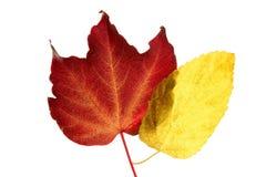 Las hojas de otoño todavía colorean, fondo del blanco del estudio Foto de archivo