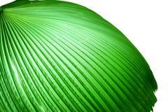 Las hojas de palma Fotografía de archivo libre de regalías
