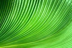 Las hojas de palma verdes Foto de archivo libre de regalías