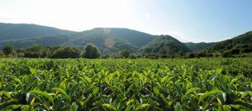 Las hojas de té verdes crecen en las montañas imagenes de archivo