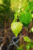 Las hojas de un árbol de abedul con descensos de la mañana rocían Imagen de archivo