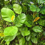 Las hojas de un árbol de goma salvaje Foto de archivo