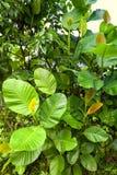 Las hojas de un árbol de goma salvaje Imagenes de archivo