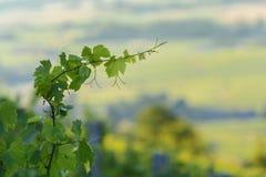 Las hojas de vides jovenes adentro con mañana se encienden, Beaujolais Foto de archivo libre de regalías