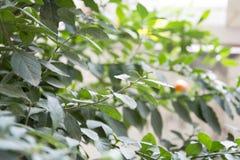 Las hojas del árbol coralino Imagenes de archivo