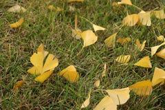 Las hojas del árbol dispersado del ginkgo en el césped Imagen de archivo libre de regalías