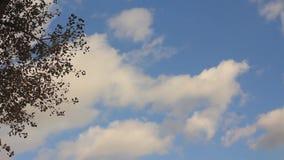 Las hojas del último en la rama del álamo temblón almacen de video