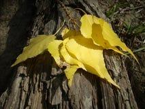 las hojas del abedul amarillo cayeron en una base de madera Fotografía de archivo
