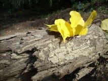 las hojas del abedul amarillo cayeron en una base de madera Imágenes de archivo libres de regalías