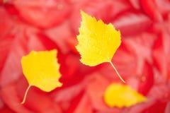 Las hojas del abedul amarillo que caen caen de los árboles Foto de archivo libre de regalías