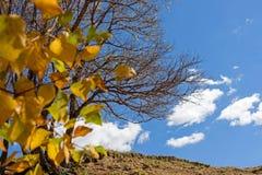 Las hojas del abedul blanco y murieron árbol en el otoño Fotos de archivo libres de regalías
