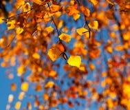 Las hojas del abedul del otoño en la luz del sol Fotos de archivo libres de regalías