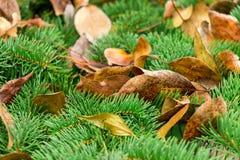 Las hojas del amarillo de árboles mienten en las ramas espinosas verdes de árboles coníferos Foto de archivo libre de regalías