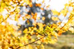 Las hojas del amarillo del otoño empañaron el fondo Foto de archivo