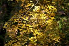 Las hojas del amarillo en el otoño Fotos de archivo libres de regalías