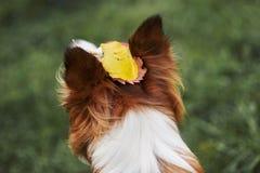 Las hojas del amarillo están en la cabeza de un perro Fotos de archivo libres de regalías
