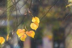 Las hojas del amarillo del otoño empañaron el fondo Fotografía de archivo libre de regalías