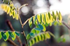 Las hojas del arbusto Amorpha, pseudoacation imagenes de archivo