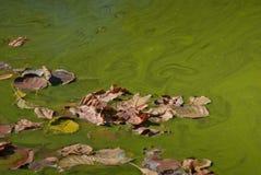 Las hojas del follaje del otoño falled abajo en un agua verde Imagenes de archivo