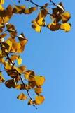 Las hojas del gingko Foto de archivo libre de regalías