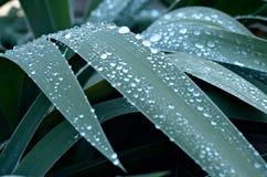 Las hojas del iris son cubiertas por el rocío de la mañana en un jardín Foto de archivo libre de regalías