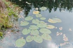 Las hojas del lirio de agua Fotografía de archivo