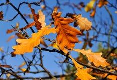 Las hojas del roble del otoño se cierran para arriba contra el cielo Foto de archivo