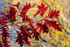Las hojas del rojo iluminadas por la luz del sol. Fotos de archivo libres de regalías