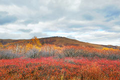 Las hojas del rojo y el abedul de plata del otoño Imagenes de archivo