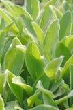 Las hojas del sabio se cierran para arriba Imagenes de archivo