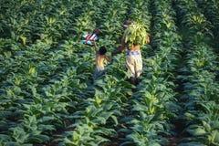 Las hojas del tabaco fueron cosechadas por el granjero fotografía de archivo libre de regalías
