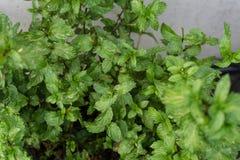 Las hojas del turco del cordifolia del mentha acuñan la planta en jardín Fotos de archivo