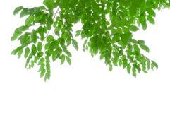 Las hojas del verde aíslan el fondo blanco con la parte que acorta imagenes de archivo