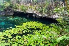 Las hojas del verde de Cenote Nicte-ha riegan la península del Yucatán superficial de Tulum México imagenes de archivo