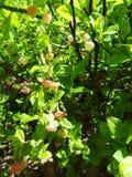 Las hojas del verde de las flores del arándano se cierran encima de luz del sol imagen de archivo libre de regalías