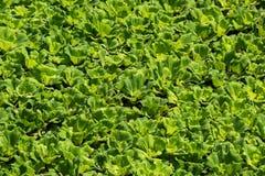 Las hojas del verde de la lechuga del stratioteswater del Pistia forman las esteras densamente flotantes que cubren la superficie Fotografía de archivo