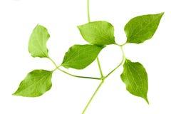 Las hojas del verde de la planta se aíslan en un fondo blanco Imagenes de archivo