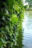 Las hojas del verde de Monstera plantan el crecimiento en salvaje, la planta tropical del bosque, imágenes de archivo libres de regalías