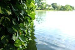 Las hojas del verde de Monstera plantan el crecimiento en salvaje, la planta tropical del bosque, vid imperecedera foto de archivo libre de regalías