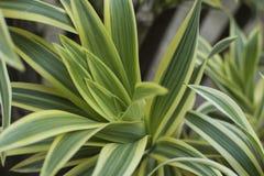 Las hojas del verde del Dracaena se cierran para arriba para el fondo Imagen de archivo