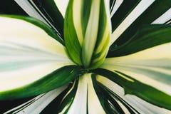 Las hojas del verde del Dracaena se cierran para arriba para el fondo Foto de archivo libre de regalías